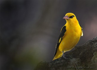 19 Golden oriole