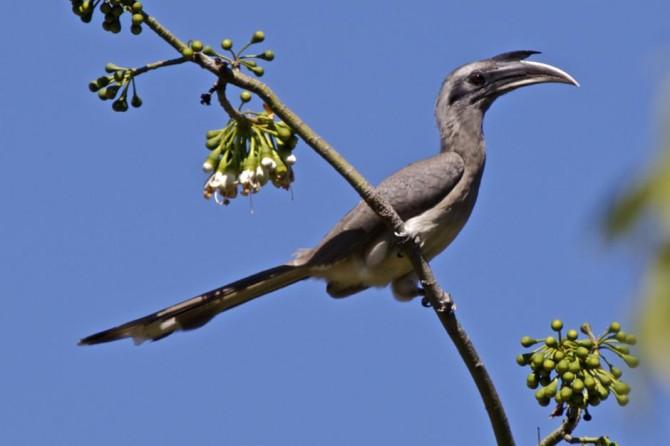 9 indian grey hornbill