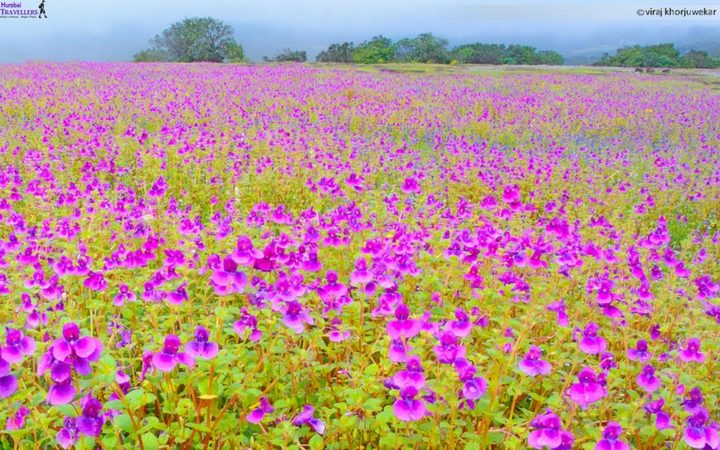 Kaas-flower-festival
