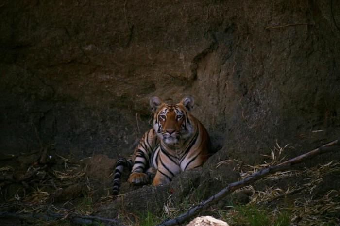 Tadoba Tiger Safari
