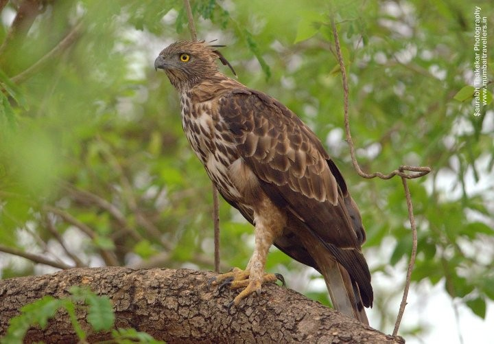 Eagle-at-corbett