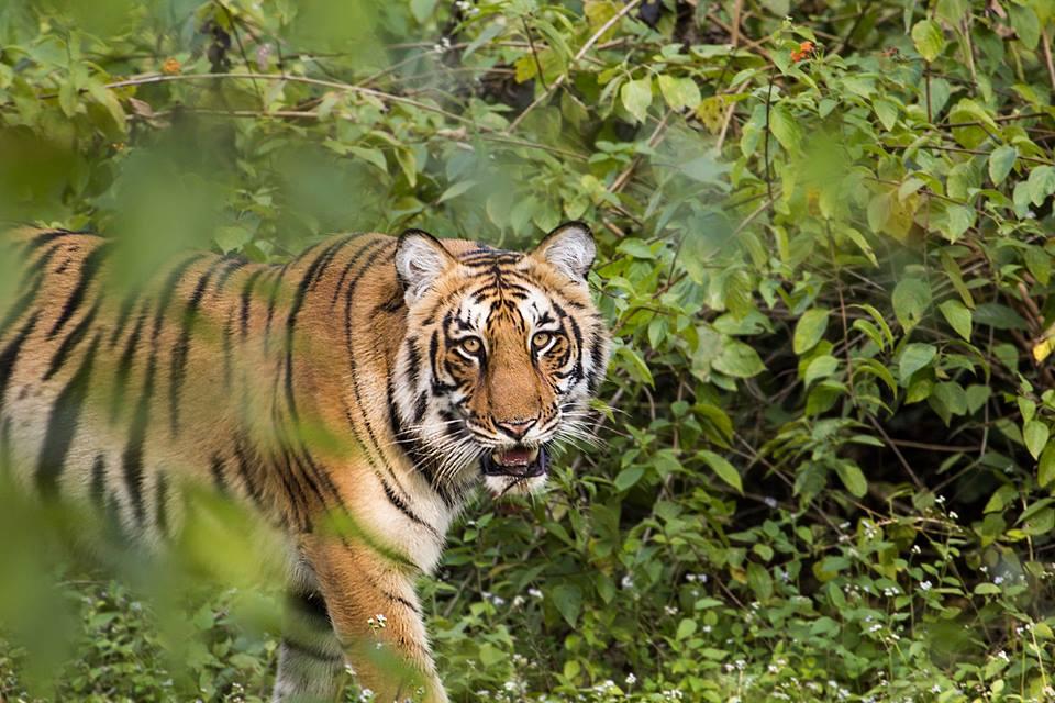 Tiger Safari Jim Corbett