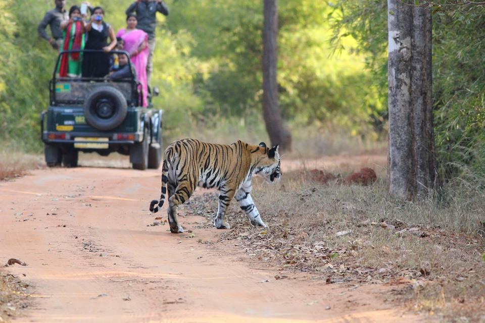 Bandhavgarh Tiger Safari