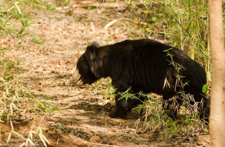 Satpura-National-park-sloth-bear-1-of-1-720x472
