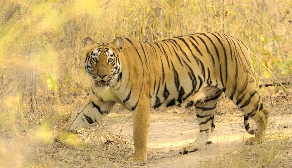 tiger-at-pench-tiger-safari-tour