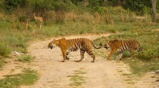 tigers-of-corbett-720x403