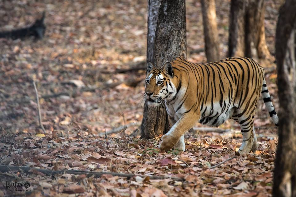 pench national park safari