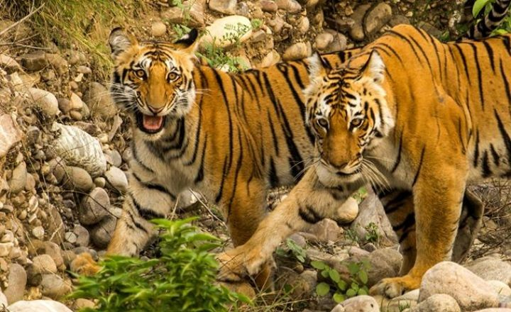 tiger-sighting-at-corbett-720x440