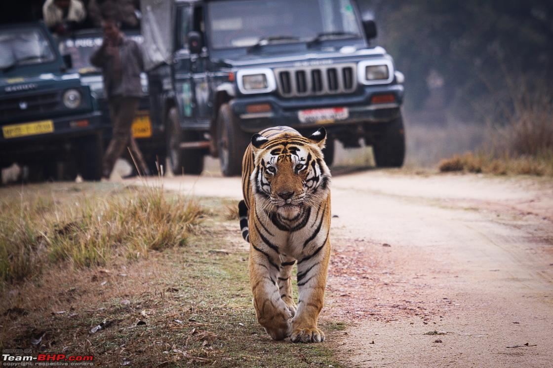 Kanha Tiger Safari  1