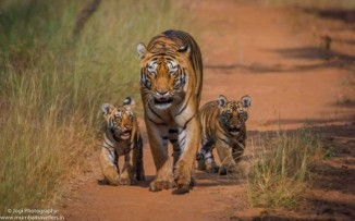 Tadoba-Tiger-Wildlife-Safari-Mumbai-Travellers-11-720x450