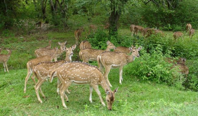 Bandipur Wildlife Safari